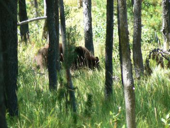 Large bear grazing a couple of miles outside of camp. I got within 25 feet but no shot.